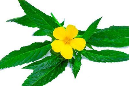 Natürliches Potenzmittel: Blätter und Blüte der Pflanze Turnera Diffusa