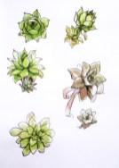 succulent-plant-sketch-aquarelle