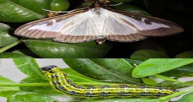 Šimširov moljac