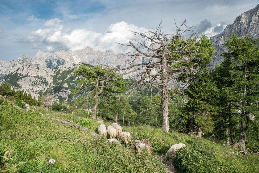 Eine kleine Schafherde unterhalb des Gipfels Slemenova Špica