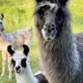 Lama-Fohlen mit Muttertier