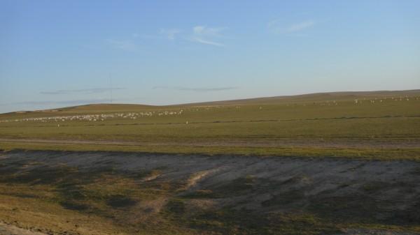 כבשים במונגוליה הפנימית