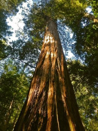 Redwood lone