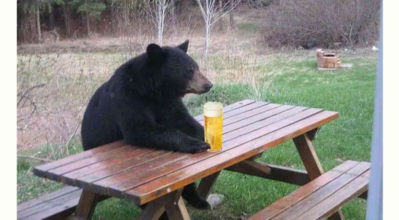 Familia de Osos se beben 100 latas de cerveza