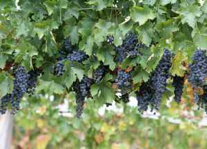 wine-grapes 3