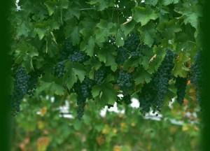 wine-grapes4 3