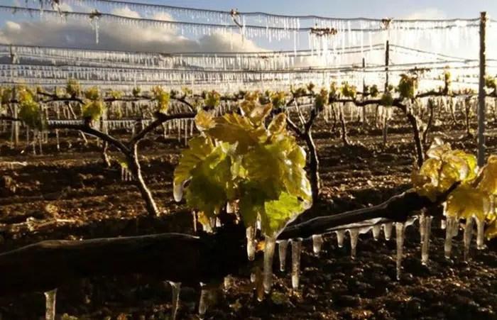 Heladas tardías causará estragos en la producción de vino francés