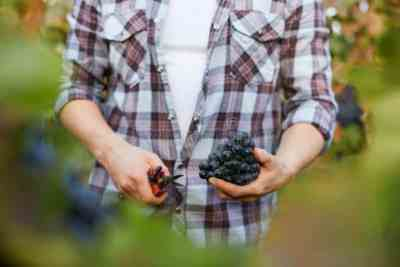 uvas editadas genéticamente