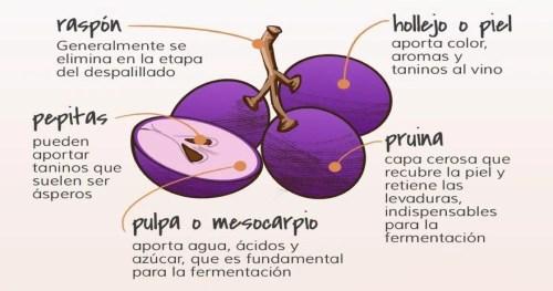 Morfología de la uva: las partes