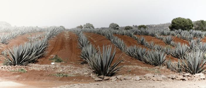 Australia plantaciones de agave