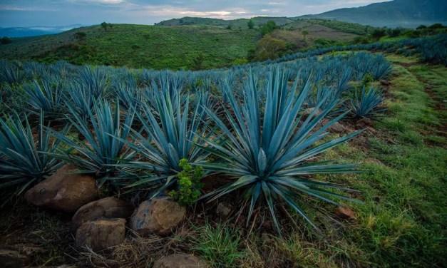Exportaciones de tequila en aumento incentivan siembra en México