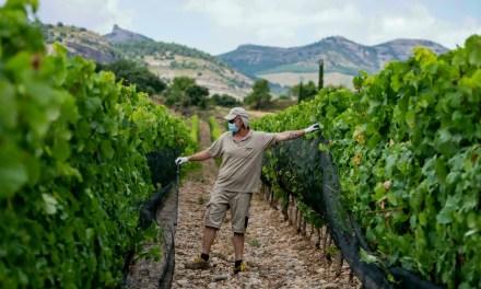 El cambio climático impulsa a viticultores a buscar nuevas soluciones