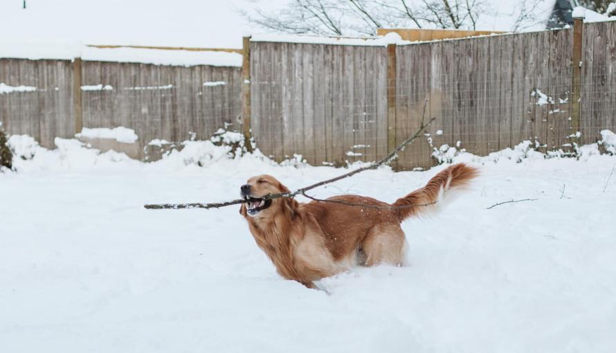 Golden Retriever runs with a large stick in a deep snowy backyard