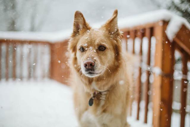 Golden dog stands on snowy porch in washington