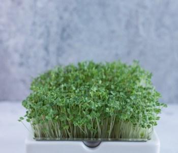 Mikrogrün, Sprossen und Keimlinge - Nährstoffreich durch den Winter #microgreens