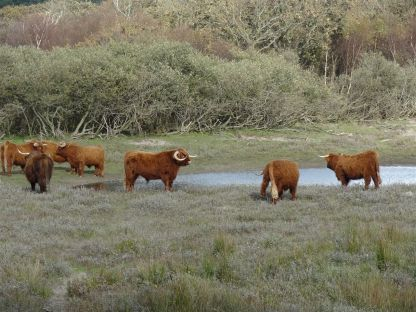 Büffel am Woudweg