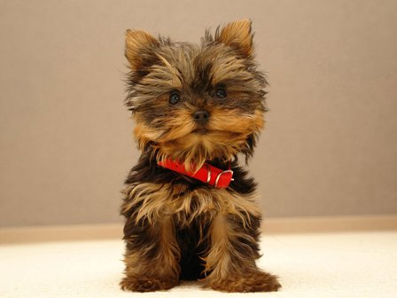 lovely-yorkshire-terrier-photo