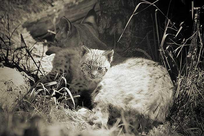 Baby Lynx in Dierenrijk