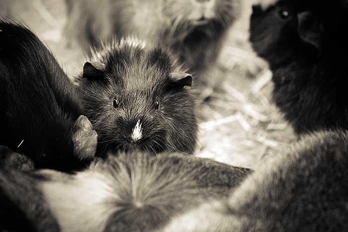 Een baby cavia tussen zijn familie in Dierenrijk