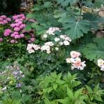 tuin,rozenperk,juli 2015