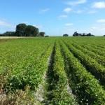 aardappels,Friesland,zomer,2015,kaarsrecht