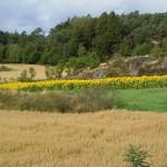 Zweden,Tjörn,uitzicht,Lekander,zomer,2015,zonnebloemen,haver