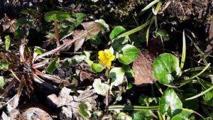 zon, speenkruid,tuin,voorjaar,poesjes,Burmezen