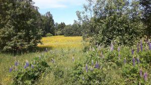 Zweden,bloemen,juni,2016,Tolvsbo,onderweg,lupinen,meren,fluitekruid