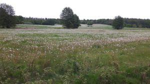 Zweden,bloemen,mei,juni,2016,zilveren velden,uitgebloeide paardenbloemen