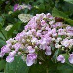 Friesland,tuin,seringhortensia,vlindertje,juli,2016