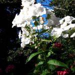 spierwitte flox,roze hortensia,blauwe lucht,Friesland