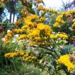Guldenroede,bijen,zoemen,tuin,augustus,2016,Friesland
