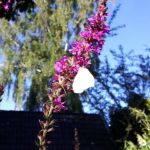 kattenstaart,vlinders,tuin,nazomer,augustus,2016,Friesland
