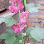 roze stokroos,tuin,Friesland,augustus,2016