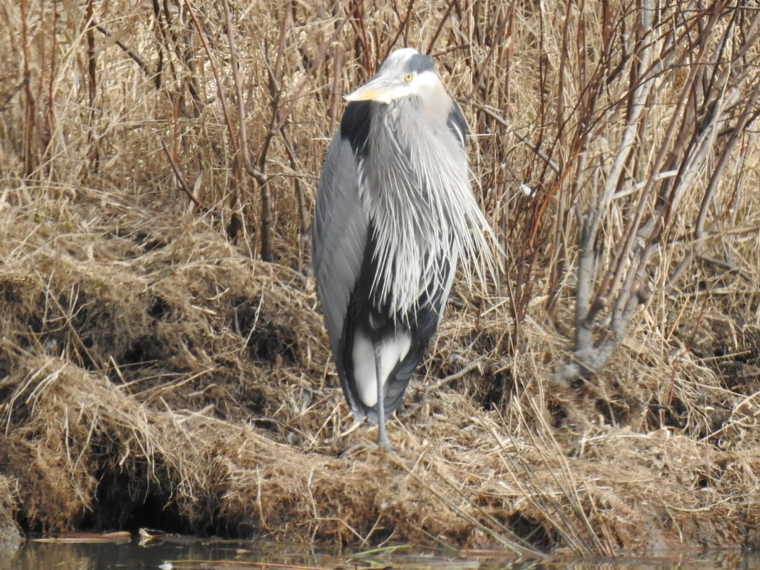 Great Blue Heron at Willband Creek Park