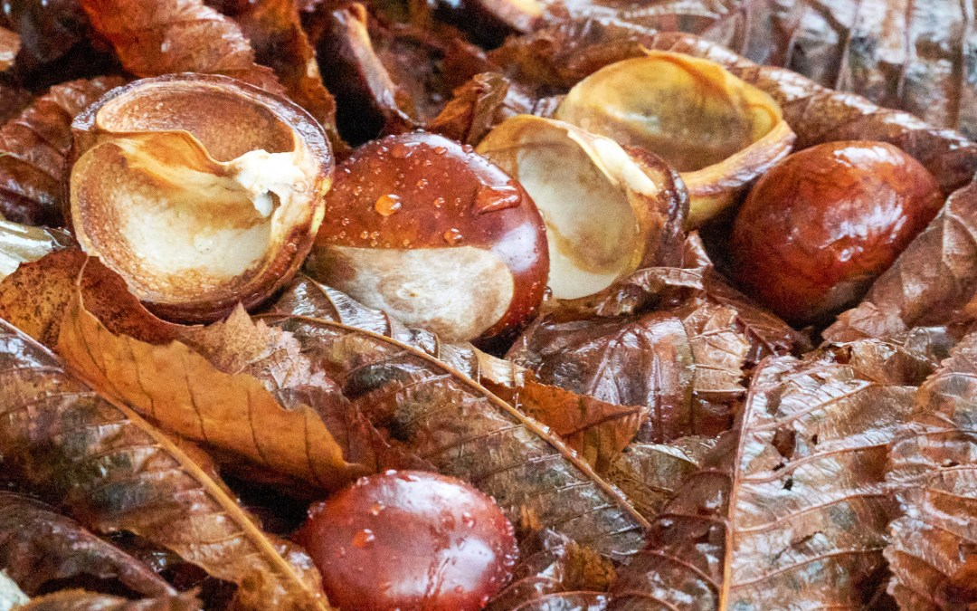 Horse chestnuts and husks. Photo by Tim Ellis cc