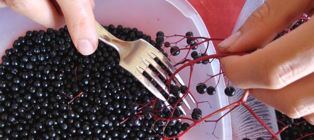 Preparing elderberries for syrup