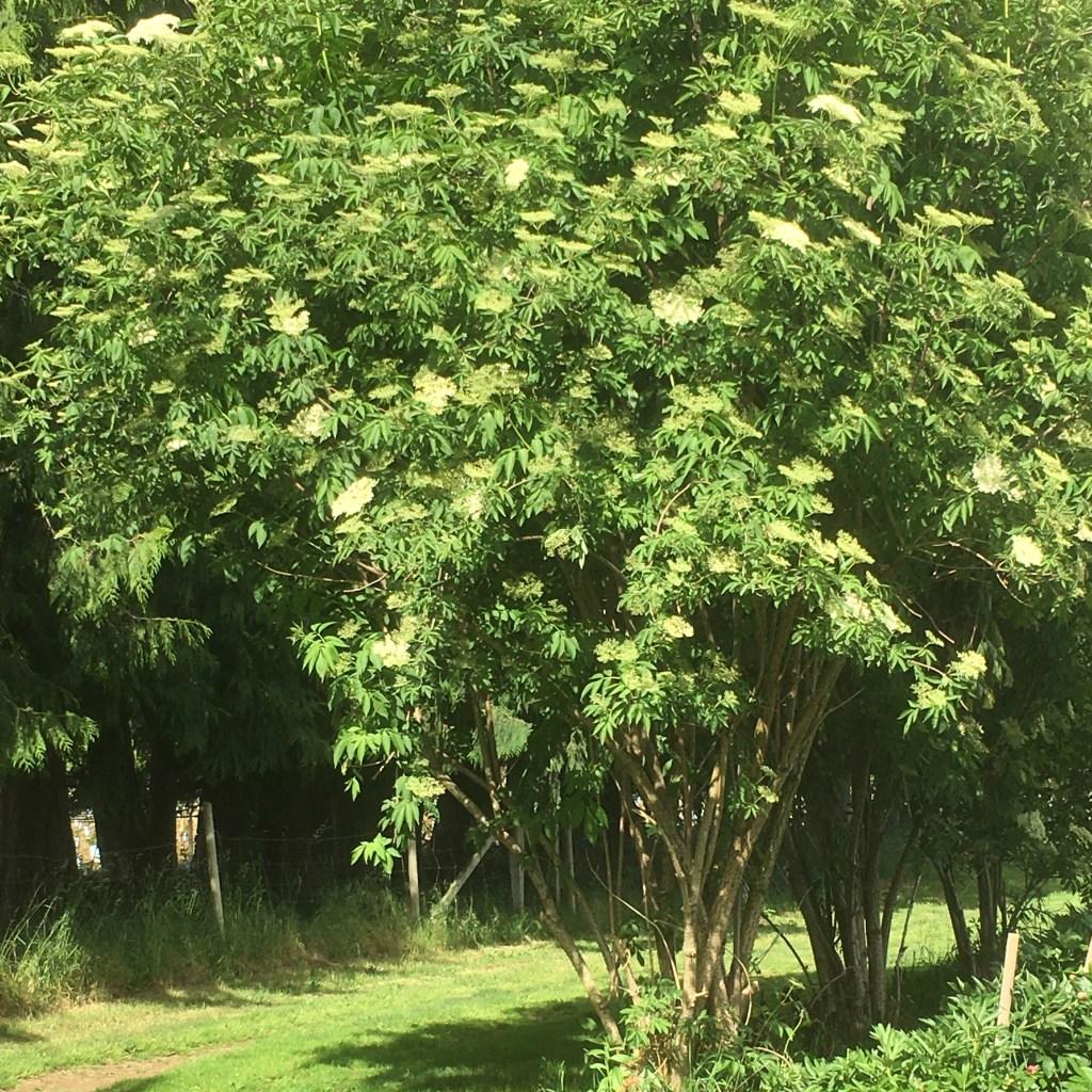 Young Elderberry tree