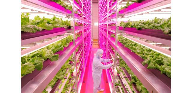 biggest-indoor-farm-produces-10000-heads-lettuce-miyagi