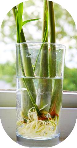 lemongrass-foods-that-can-be-regrown