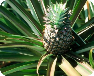 pineapple-foods-that-can-be-regrown