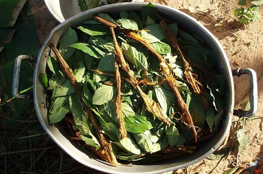 Ayahuasca Potential Treatment for Diabetes