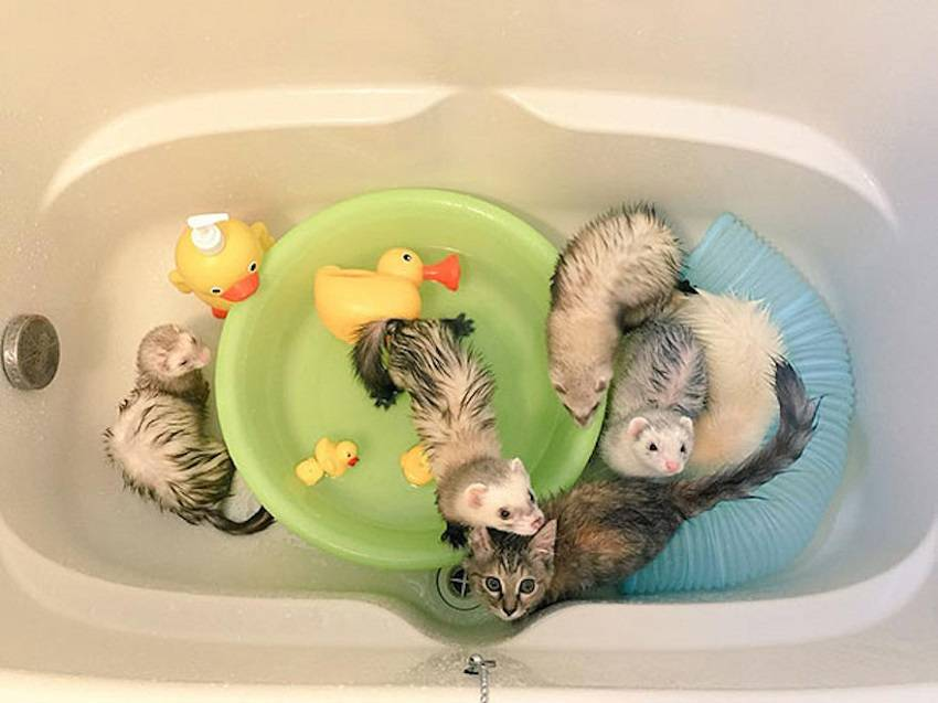 Stray Kitten Growing up with 5 Ferrets