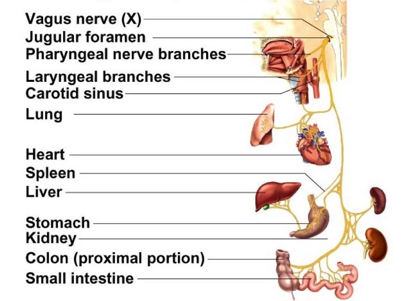 vagus nerve