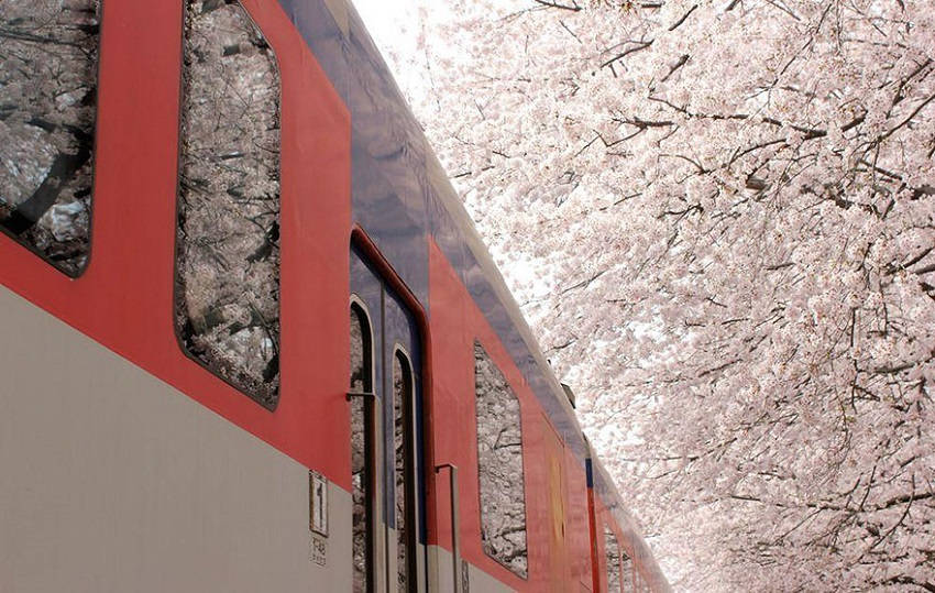 A train passing by in spring - spring-japan-cherry-blossoms-national-geographics