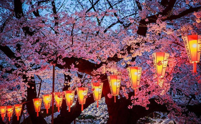 Evening cherry blossoms - spring-japan-cherry-blossoms-national-geographics