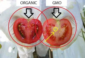 GMO Tomatoes Organic