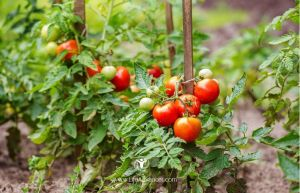01-How to Grow Tomatoes