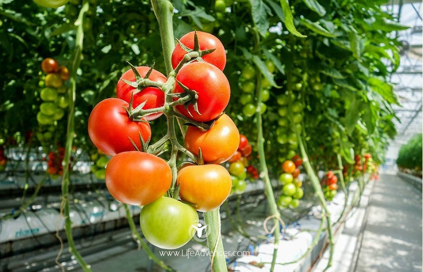 02-How to Grow Tomatoes