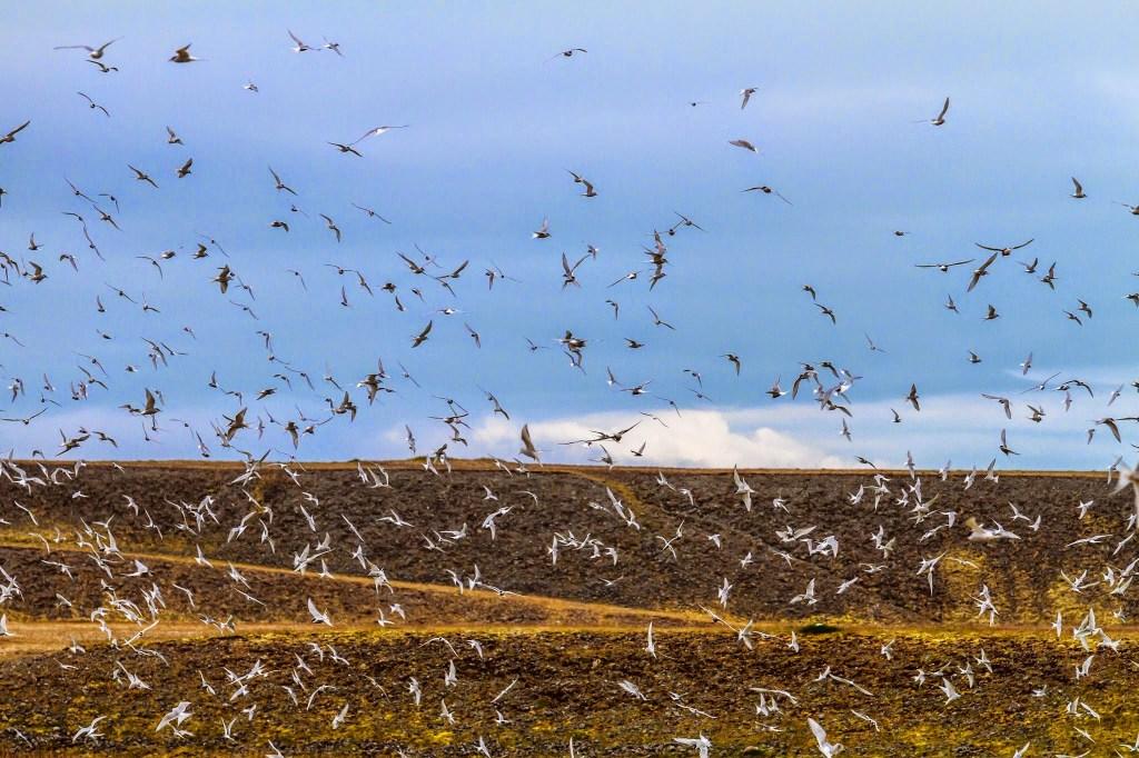 Nesting season for birds near Jökulsárlón